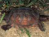 Above Ground Turtle Pond for Sale Care Of Pet Gulf Coast Box Turtles