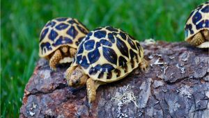 Above Ground Turtle Pond for Sale tortoise for Sale tortoise for Sale tortoises Sulcata tortoise