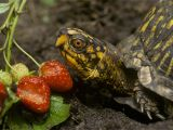 Above Ground Turtle Pond for Sale What Your Box Turtle Can and Can T Eat