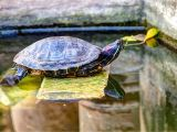 Above Ground Turtle Pond How to Encourage Basking for Your Red Eared Slider