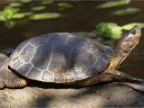 Above Ground Turtle Pond Ideas Western Pond Turtle Turtles Pinterest Turtle Pond Turtle and
