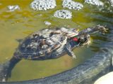 Above Ground Turtle Pond Red Eared Slider Housing and Care