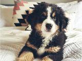 Bernese Mountain Dog Mass 75 Best Bernedoodle Images On Pinterest Goldendoodles