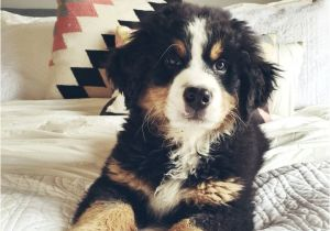 Bernese Mountain Dog Mass 75 Best Bernedoodle Images On Pinterest Goldendoodles