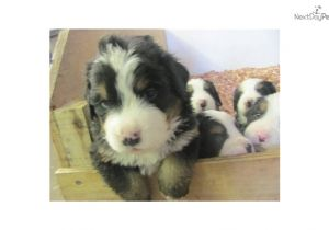 Bernese Mountain Dog Mass Bernese Mountain Dog for Sale for 1 200 Near south Coast