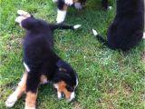 Bernese Mountain Dog Mass Bernese Mountain Dog Puppies for Sale Boston Ma 237346