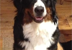 Bernese Mountain Dog Mass Patchwork Bernese