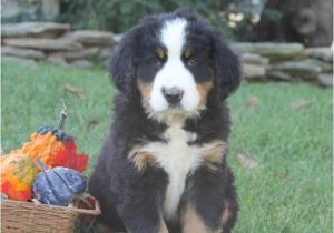 Bernese Mountain Dog Mass Sweet Bernese Mountain Dog Puppies Craigspets