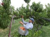 Best Trees for Colorado Coloradans and Others Can T Get Enough Of State S Iconic Peaches