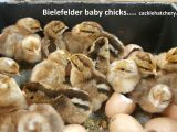 Bielefelder Chickens for Sale Bielefelder Baby Chicks Chickens for Sale Cackle Hatchery