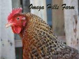 Bielefelder Chickens for Sale Bielefelder Chickens and Hatching Eggs for Sale