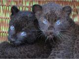 Black Panther Cubs for Sale La Pantera Negra Ilianalissethvasquezfigueroa