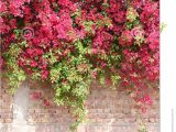Blossoms On the Bricks Colorful Bougainvillea In Full Bloom On Concrete and Brick