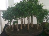 Care Instructions for Ficus Microcarpa Ginseng Bonsai Tree