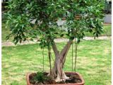 Care Instructions for Ficus Microcarpa Ginseng Vpn Live Ficus Benjamina Plant 1 5 Years Old Pre Bonsai Buy Vpn