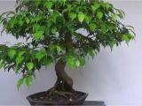 Care Of Ficus Microcarpa Ginseng Bonsai Evolution Evolution Of A Ficus Benjamina Youtube
