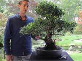 Care Of Ficus Microcarpa Ginseng Bonsai Ficus Youtube