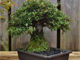 Care Of Ficus Microcarpa Ginseng Dsc 0262 Bonsai Eejit Bonsai Pinterest Bonsai and Gardens