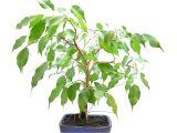 Care Of Ficus Microcarpa Ginseng Ficus Benjamina Bonsai Wiring and Update Youtube