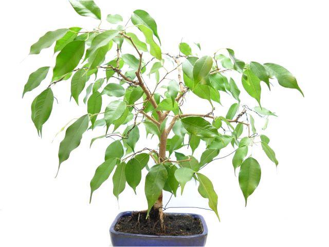 Magnificent Care Of Ficus Microcarpa Ginseng Ficus Benjamina Bonsai Wiring And Wiring 101 Ivorowellnesstrialsorg