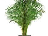 Common Indoor Palm Trees 18 Best Large Indoor Plants Tall Houseplants for Home