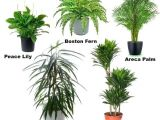 Common Indoor Palm Trees Common Indoor Plants Dynamicpeople Club