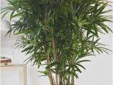 Common Indoor Palm Trees Houston 39 S Online Indoor Plant Pot Store Hawaiian