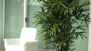 Common Indoor Palm Trees Palm Species Houseplants Rhapis Excelsa is One Of the