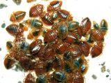 Critter Getter Pest Control Az Bed Bugs Critter Getter Pest Control and Wildlife Management