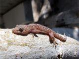 Critter Getter Pest Control Az Lizards Critter Getter Pest Control and Wildlife Management