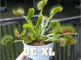 Dc Xl Venus Fly Trap Dc Xl Giant Venus Flytrap