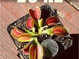 Dc Xl Venus Fly Trap Giant Dc Xl Venus Flytrap Carnivorous Plant