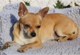 Deer Head Chihuahua Puppies Craigslist Applehead Chihuahua Puppies for Sale Near Me