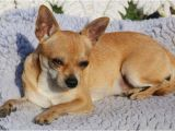 Deer Head Chihuahua Puppies Craigslist Applehead Chihuahua Puppies for Sale Near Me