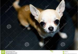 Deer Head Chihuahua Puppies Craigslist Applehead Chihuahua