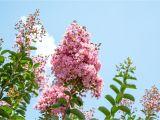 Double Feature Crape Myrtle Amazon Com Sioux Crape Myrtle Size 4 5 Live Plant Includes