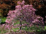 Double Feature Crape Myrtle Database Of Common Names Of Plants