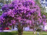 Double Feature Crape Myrtle How to Grow Crepe Myrtles Nature Beauty Myrtle Tree Crepe