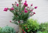 Double Feature Crape Myrtle Pink Velour Crape Myrtle Herb Garden Green with Envy My Yard