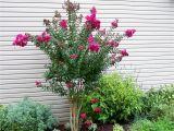 Double Feature Crape Myrtle Pink Velour Crape Myrtle Herb Garden Green with Envy My Yard