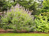 Double Feature Crape Myrtle Trees for Patios and Small Space Gardens