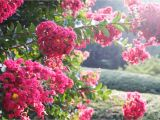Double Feature Crape Myrtle What Not to Plant In Your Poolside Garden Messy Plants