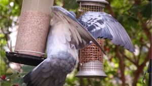 Dove Proof Bird Feeders Pigeon Proof Bird Table Gardening forum