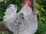 English Lavender orpingtons for Sale Lavender English orpington Gt Fowl Play Chickens
