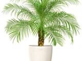 Fake Palm Trees for Sale Indoor Natural Plant Phoenix Palm Plant Natural Special Indoor Plant Buy