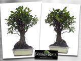 Ficus Microcarpa Bonsai Tree Care Bonsai Ficus Retusa Www Sankaly Bonsai Com Bonsai Pinterest