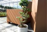 Ficus Microcarpa Bonsai Tree Care Ficus Microcarpa Ginseng Pflege Luxus Im tontopf Bonsai Ficus