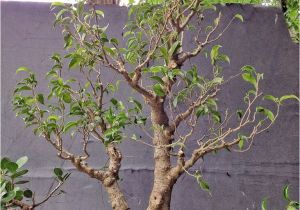 Ficus Microcarpa Bonsai Tree Care How About some Love for A Ficus Benjamina Adam S Art and Bonsai Blog