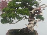 Ficus Microcarpa Bonsai Tree Care Pin by Law On Bonsai Pinterest Bonsai