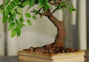 Ficus Microcarpa Bonsai Tree Care Very attractive Bonsai Indoor Trees Ideas for Indoor Decorations 34